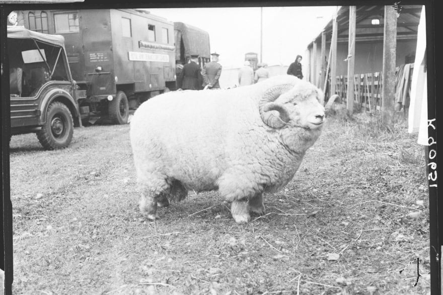 Old black and white photo of a large ram