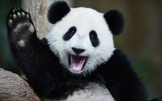 Said panda. In a tree. Credit: Getty Images
