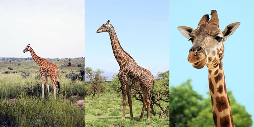 Small Medium and Large Giraffe