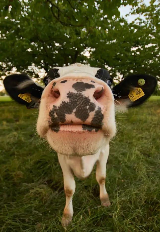 closeup of cow nose sniffing camera