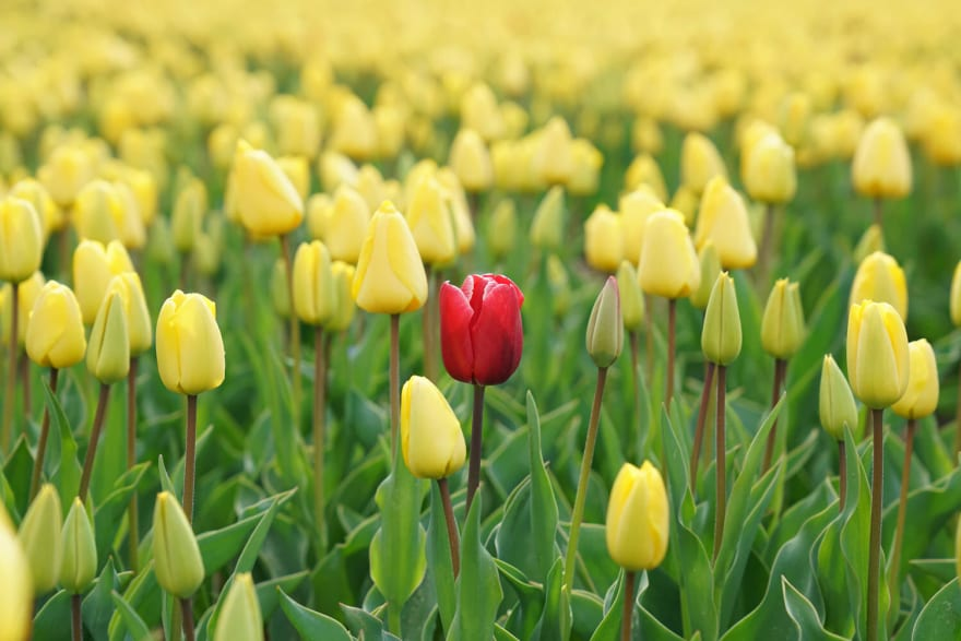 A field full of yellow tulips with a single red tulip focused and centered