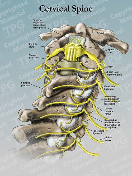 Nerves through the neck