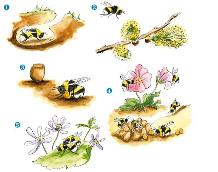 Bumblebee Lifecycle from BBCT
