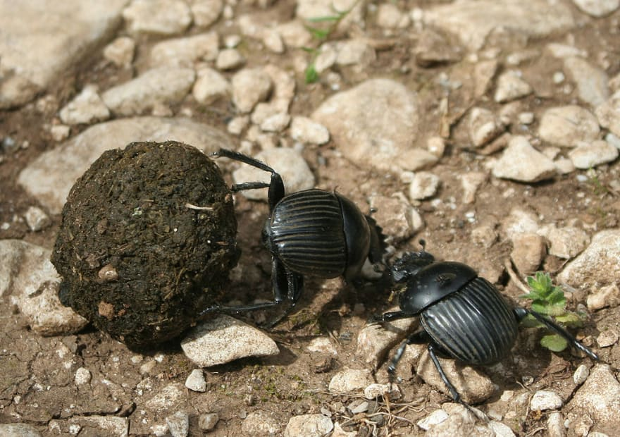 Two dungbeetles fighting over a ball of dung