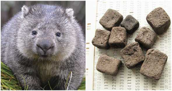 wombat picture