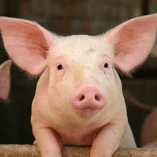A Cute Pig