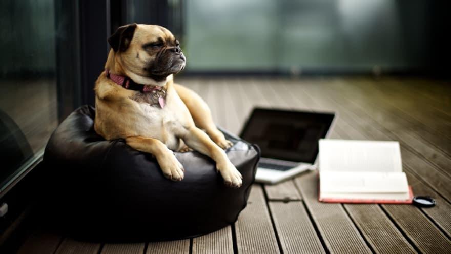 Doggo Studying