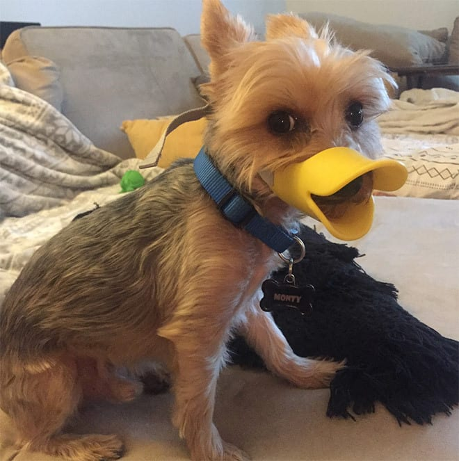 York dog as a duck