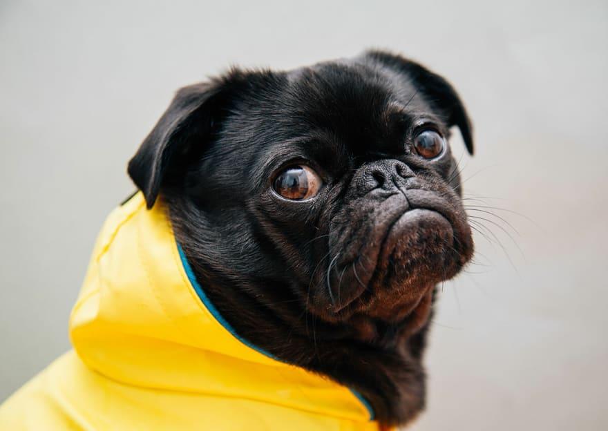 Pug in yellow jacket