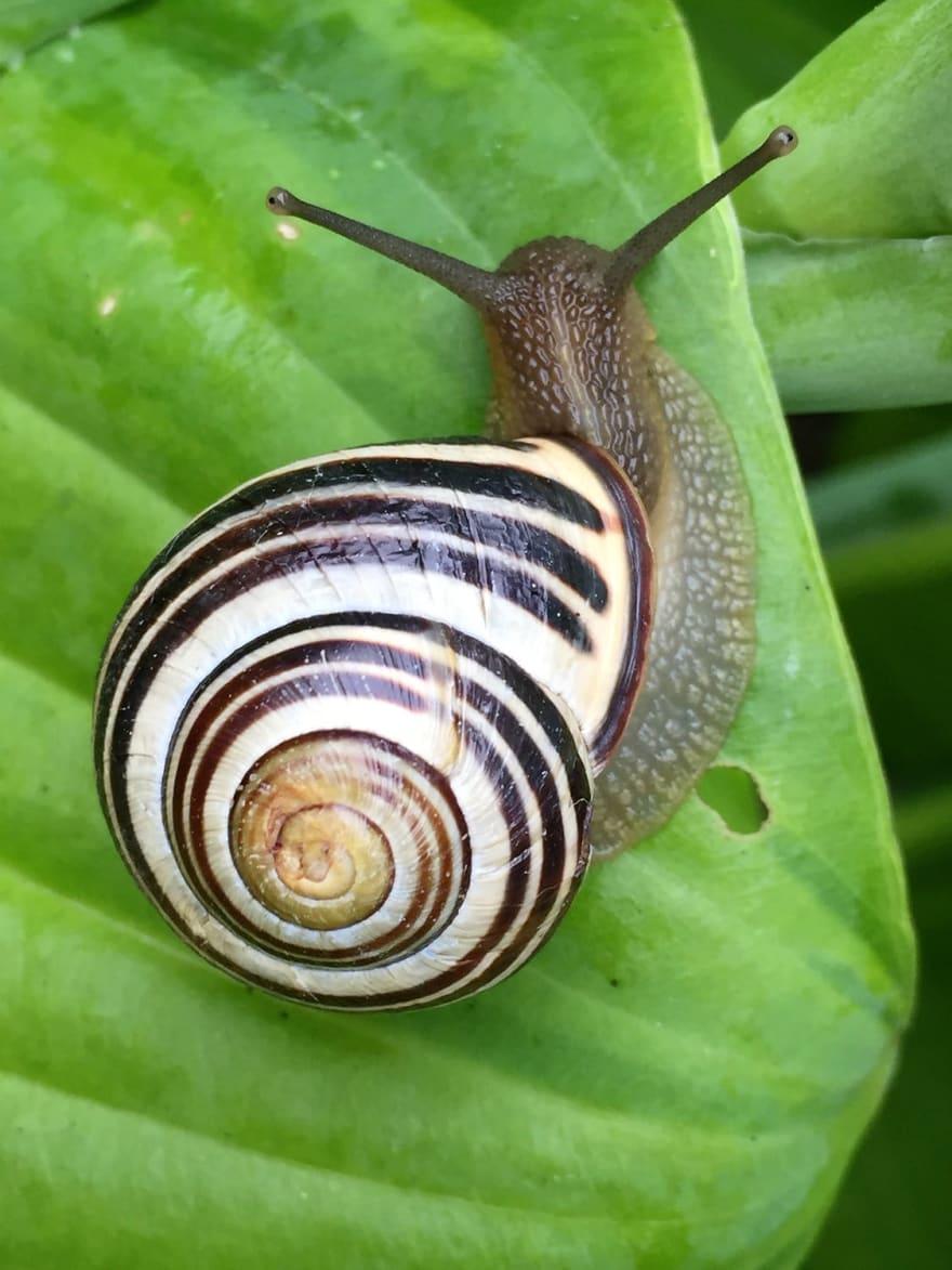 garden snail on a green big leaf