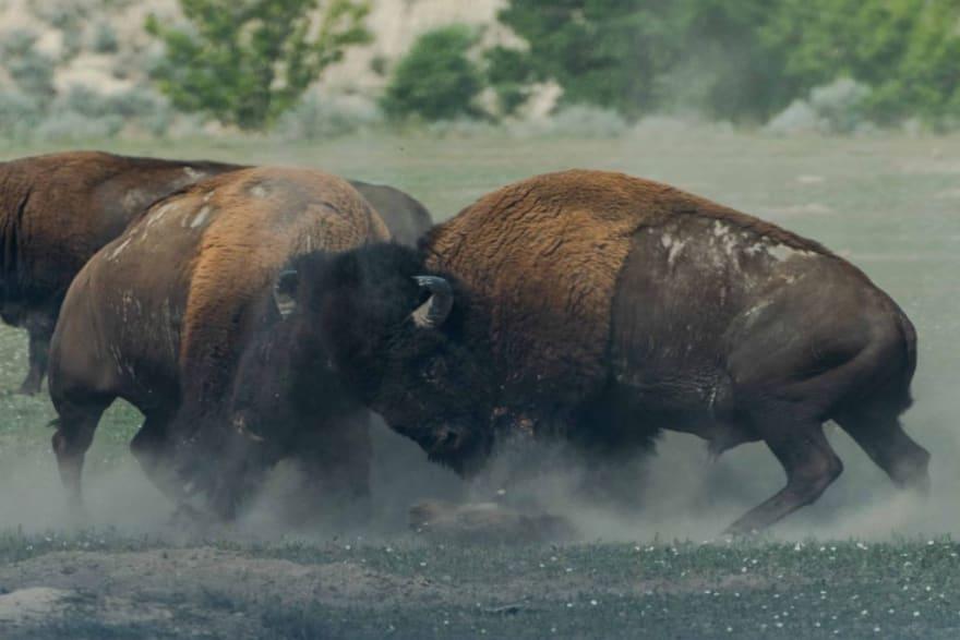 Two buffalo fighting