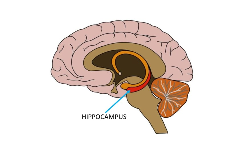 Hippocampus that's depicted like an orange L-shaped sofa, but actually shaped like a seahorse, in the brain