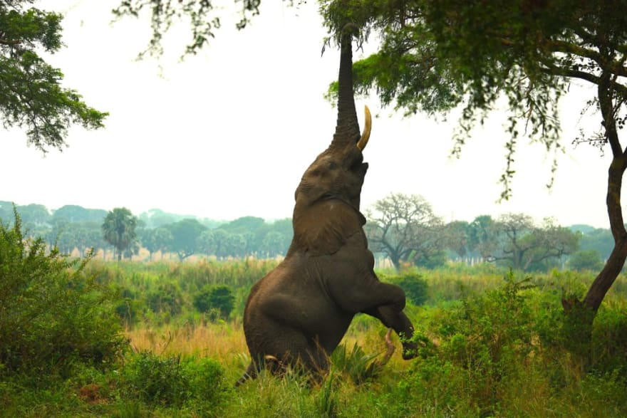 An elephant stretching for some leaves on a tree