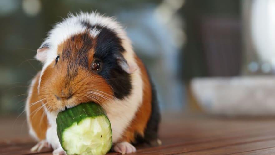 Guinea Pig Test