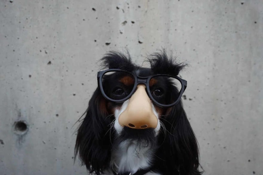 Dog with funny glasses and fake nose