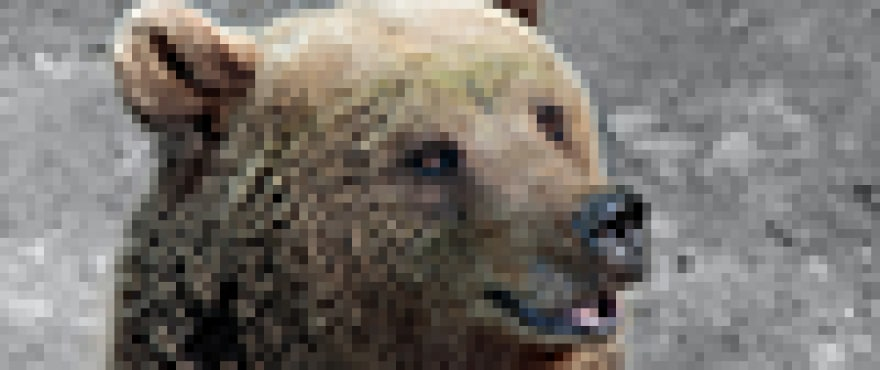 A picture of a bear with huge pixels