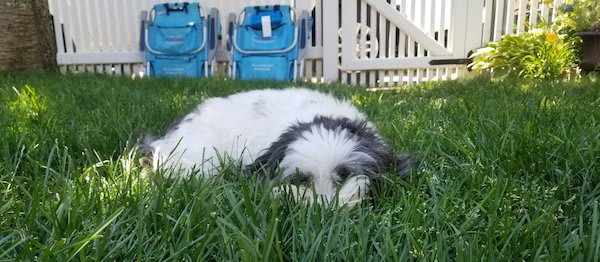 Lola the Micropanda lying in the grass waiting for SquirrelEvents