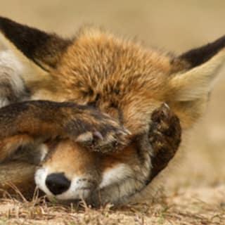foxtacles profile