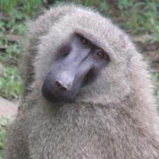 Ravenous Baboon profile picture