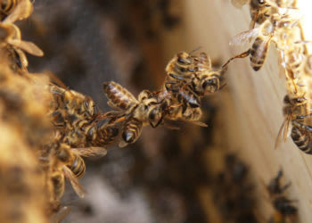 photo of a chain of bees connecting two parts of a hive