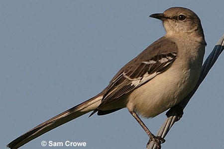 Mockingbird picture