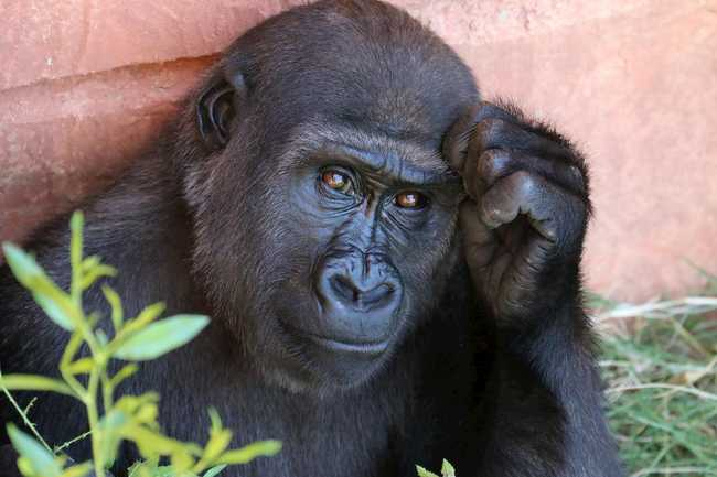 A Gorilla looking thoughtful by Rob Schreckhise