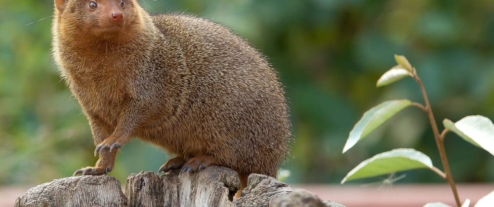 Daily Two Cents - Mongoose