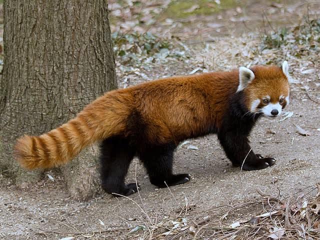 Firefox mascot
