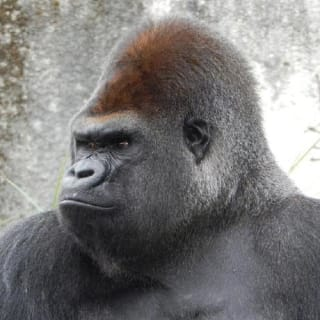 Gorilla profile picture