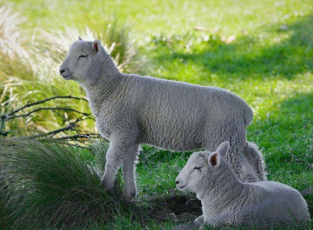 Two Little Lambs