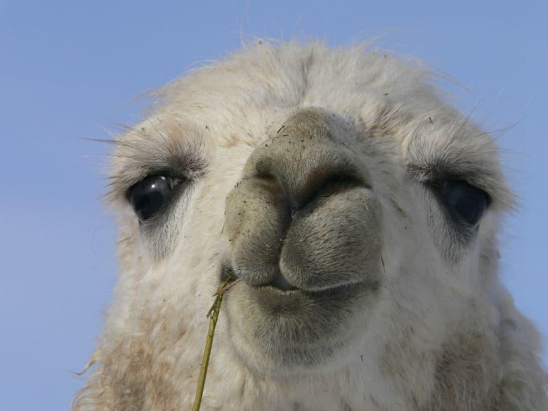 Charming Llama