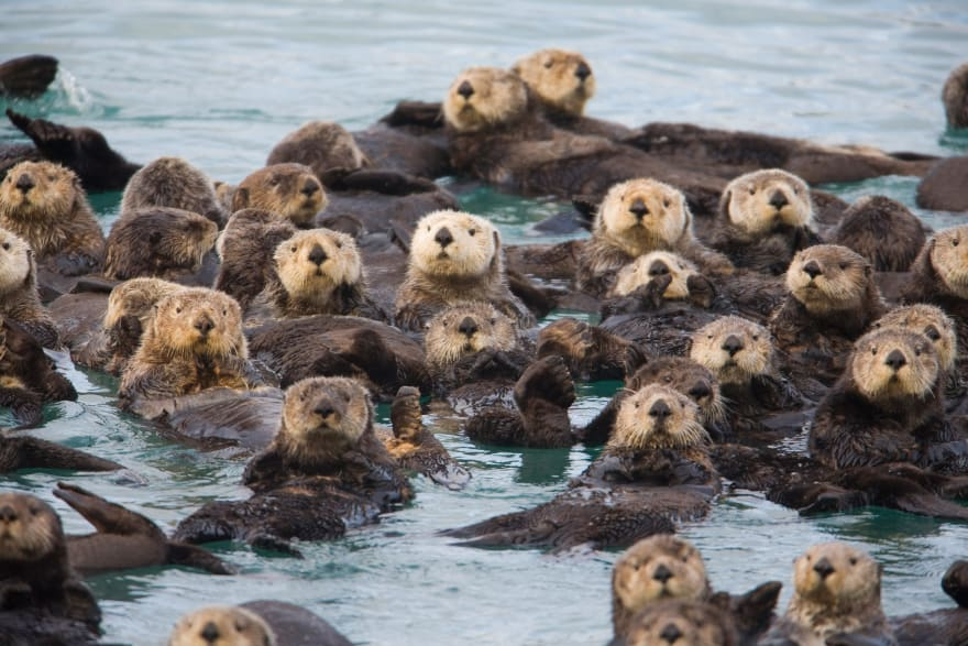 A Raft of Sea Otters