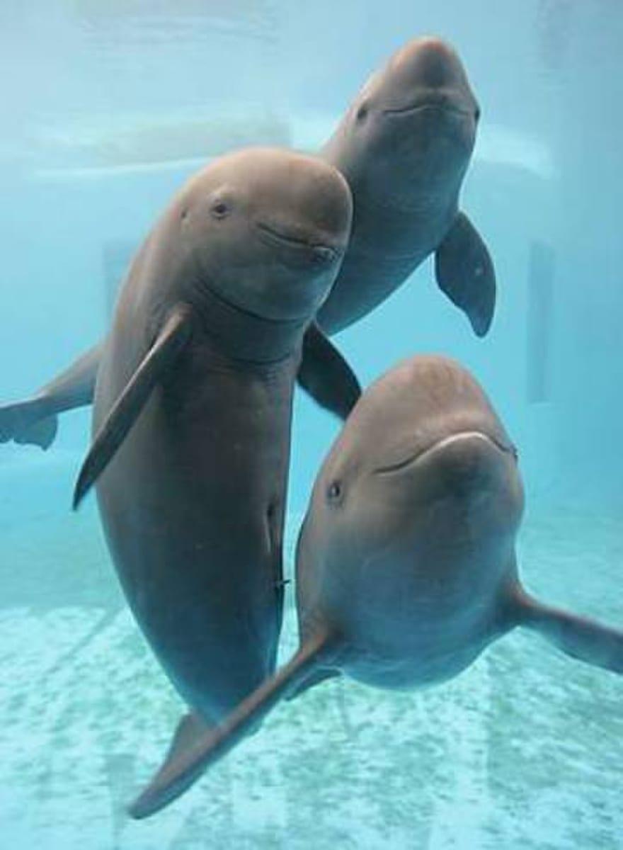 A trio of porpoises