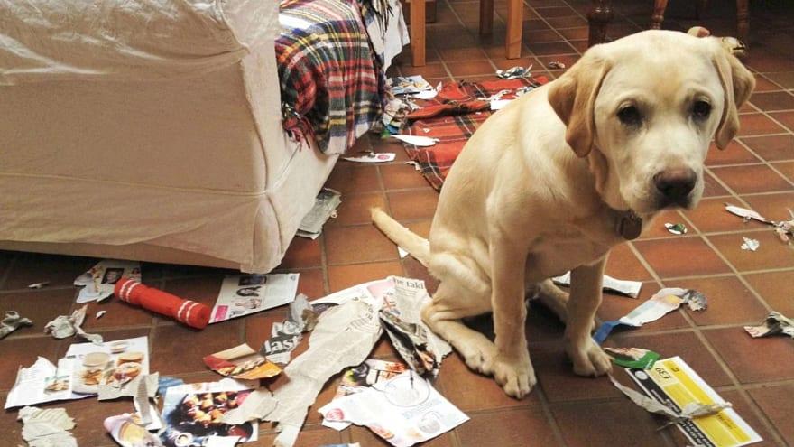 Bad boy doggo