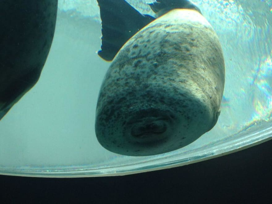 Seal bumps into aquarium glass