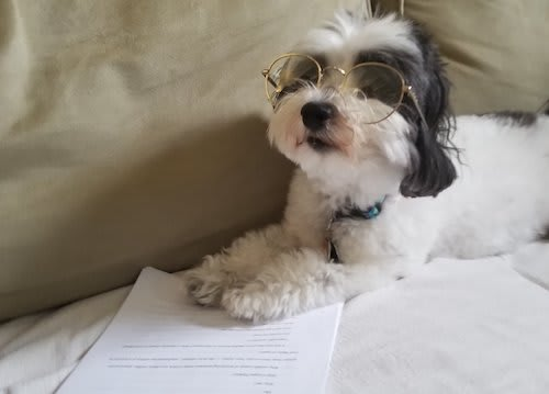 Lola the Micropanda, a Havanese pupper who looks like a panda, wearing glasses and reading a paper