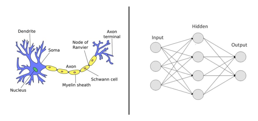 ON the left: The biological neuron graph & on the right: the artificial neural network