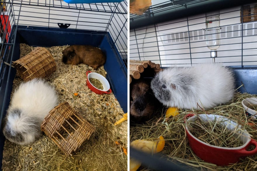 Pepper & Vlinder, Ksenia's pet guinea pigs