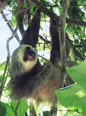 Two-toed sloth climbing a tree
