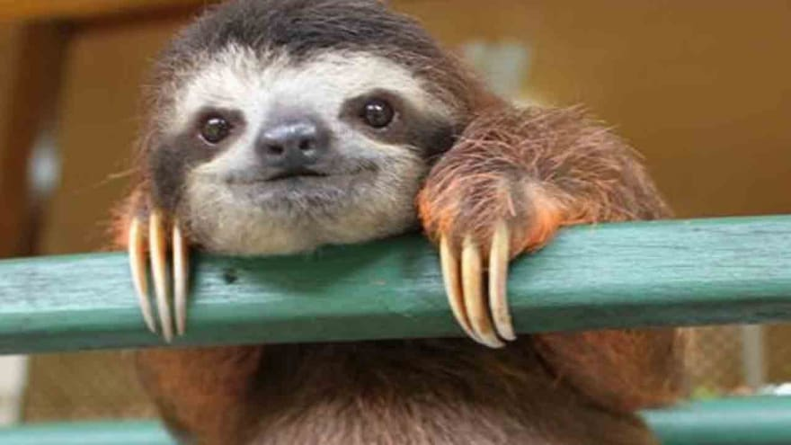 Three-toed sloth climbing on a bar, smiling