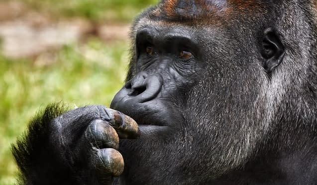 a thinking gorilla