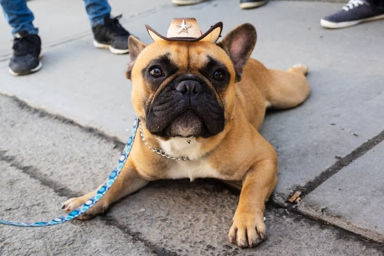 french bulldog with tiny cowboy hat on