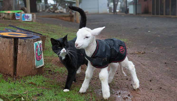 cat and sheep as friends