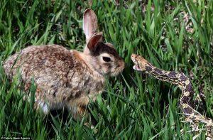 rabbit and python
