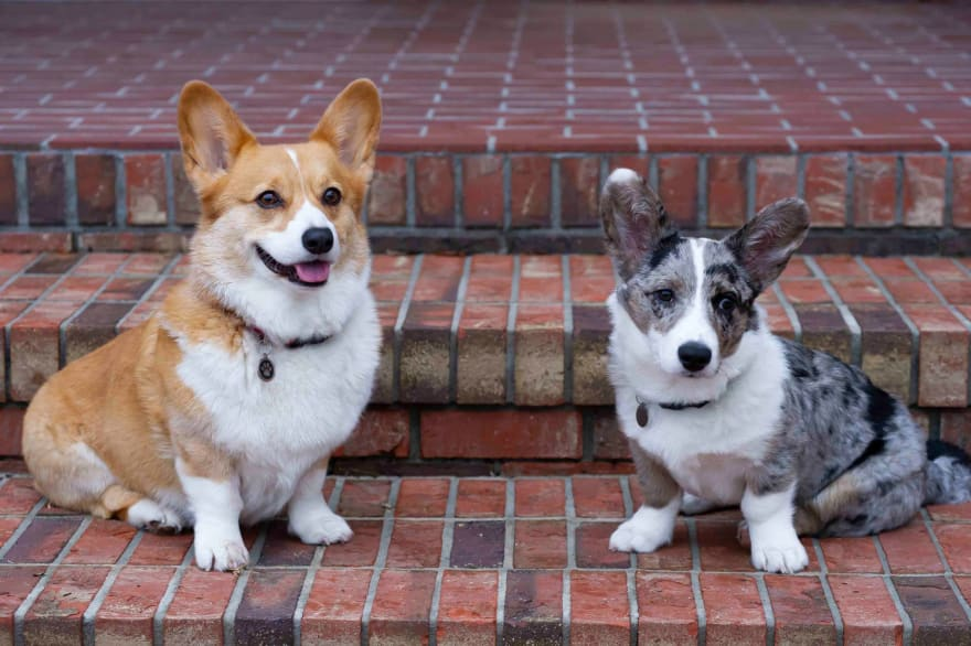 Two Corgi's sitting on a brick-paved step. One is red and the other is a blue merle color