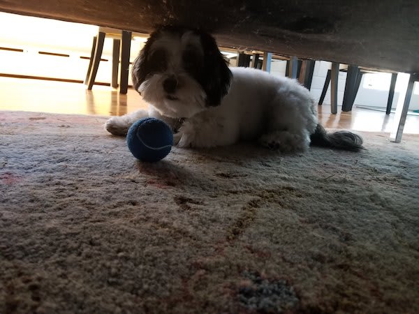 Lola the Micropanda (an adorable black and white Havanese pupper) with a tennis ball that she fetched but is definitely not bringing back