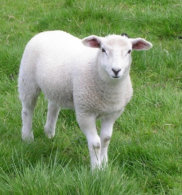 Sheep: adorable and fuzzy, but not ideal as currency.