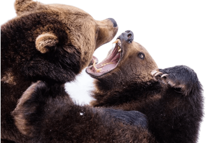 Two bears fighting. Used as an illustration of an argument between two developers