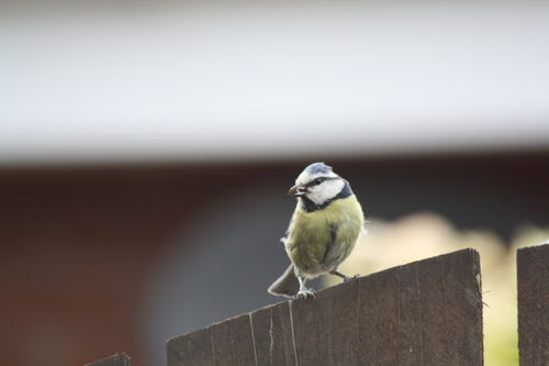 Photo of a Blue Tit bird sat on a fence