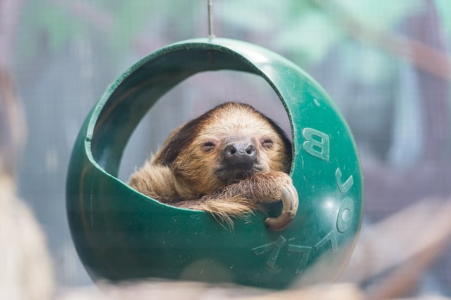 Baby two-toed sloth sitting in a dark green ball like a tire swing
